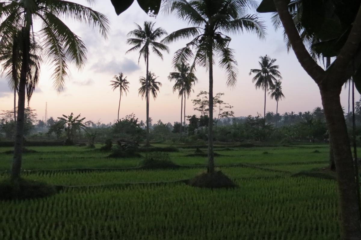 palm trees palmeres pangandaran