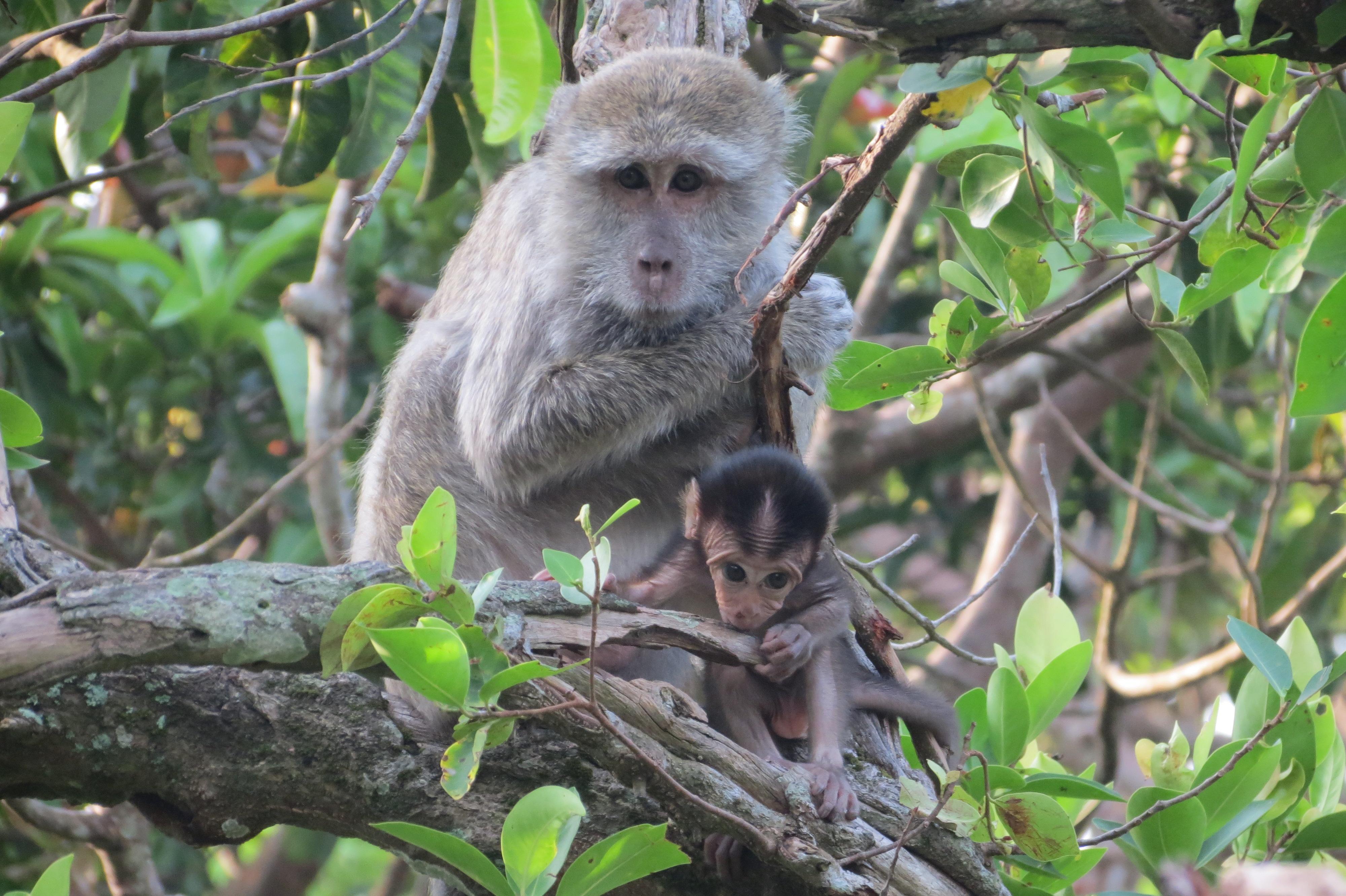 monkeys Kalimantan