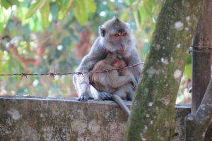 monkey mono pangandaran