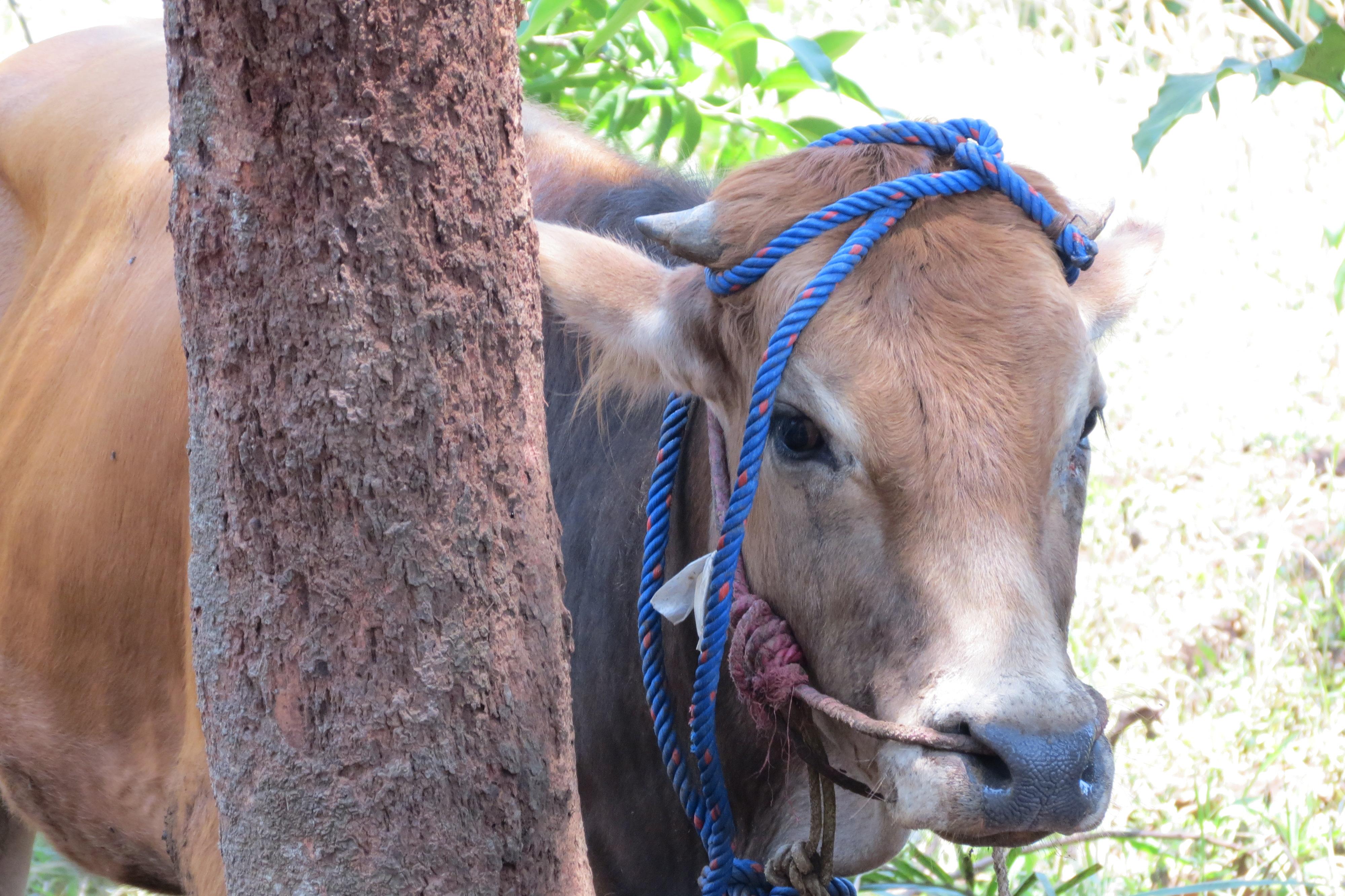 vaca sacrifici
