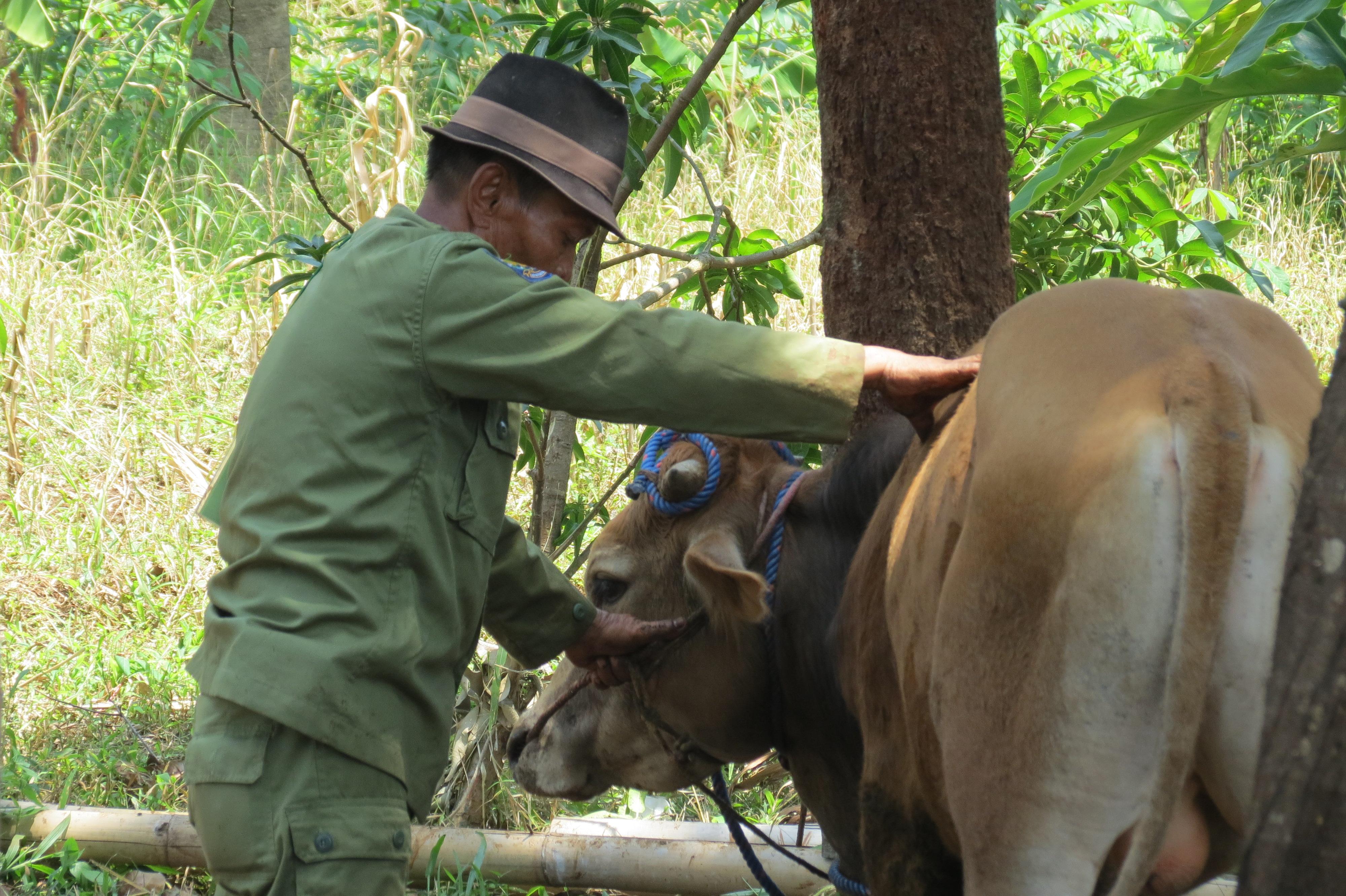vaca sacrifici Java